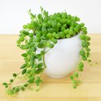 多肉植物 グリーンネックレス 陶器鉢植え