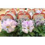 フリル咲きパンジー 絵になるスミレ パルム 3.5号ポット苗 花付き サカタのタネ 花壇 寄せ植え