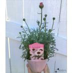 ローダンセマム エルフピンク 3.5号ポット苗 ツボミ付き 寄せ植え 花壇