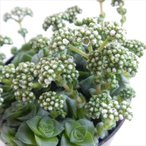 seクラッスラ ソシアリス 雪の妖精 多肉植物 クラッスラ 6cmポット