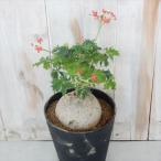 caヤトロファ ベルランディエリ 錦珊瑚 ニシキサンゴ 4.5号鉢 多肉植物 コーデックス