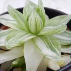 sdハオルチア 京の華錦 多肉植物 ハオルチア 3号鉢