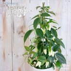 ホワイトベルのお花がかわいい!! クレマチス・アンスンエンシス(10.5cmポット)