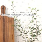 ソフォラ ミクロフィラ リトルベイビー(メルヘンの木 観葉植物 9cmポット)