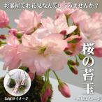 お部屋でお花見いかがですか? 桜 苔玉受皿付(盆栽 さくら サクラ)