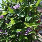 ベンガルヤハズカズラ サンシェードブルー(花持ちが良くグリーンカーテン・オベリスク・あんどんに最適!! CO2対策 10.5cmポット)