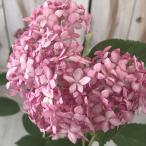 アメリカあじさい ピンクのアナベル ピンクアナベル アジサイ 紫陽花 ポット苗