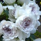 予約販売 バラ大苗 河本バラ園 ガブリエル  四季咲き 薔薇 バラ バラ苗 hao 12月上旬以降発送