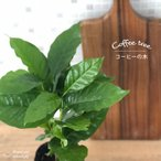 珈琲の木 コーヒーの木 アラビカ種 観葉植物