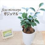 ガジュマル 4号鉢 観葉植物 インテリア 幸せを運んでくれる樹