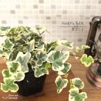 ヘデラ 雪ほたる(斑入りヘデラ ユキホタル カラーリーフ 観葉植物 ポット苗 寄せ植え)