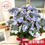 母の日 ギフト ガクアジサイ コンペイトウブルー  贈り物 プレゼント あじさい 紫陽花 花 5号鉢 送料無料