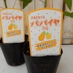 パパイヤ ソロ(観葉植物 9cmポット)