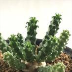 osユーフォルビア 九頭竜 おもしろ多肉植物