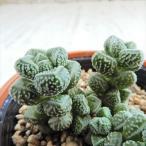 oriクラッスラ エレガンス(多肉植物 クラッスラ 6cmポット)