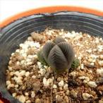 nkクラッスラ ダルマ緑塔(だるま緑塔 多肉植物 クラッスラ 6cmポット)