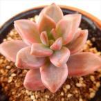 oriグラプトペタルム ピーチ姫(ブロンズ姫錦)多肉植物 グラプトペタルム 6cmポット