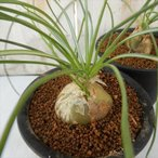 osアルブカ フミリス おもしろ多肉植物