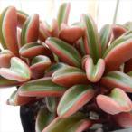 ペペロミア グラベオレンス(多肉植物 ペペロミア 9cmポット)