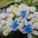常山アジサイ 碧の瞳 あおのひとみ アオノヒトミ あじさい 紫陽花 10.5cmポット