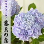 四季咲あじさい 霧島の恵 アジサイ 紫陽花 10.5cmポット苗
