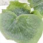 Platycerium grande プラティセリウム グランデ コウモリラン 観葉植物 4号鉢
