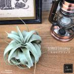 エアープランツ キセログラフィカ (チランジア チランドシア 観葉植物)