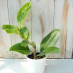フィカス アルテシーマ 4号鉢 ゴムの木 観葉植物