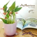 アンスリウム プチ 3号鉢 観葉植物 アンスリューム