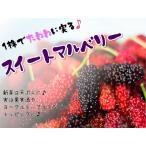 スイートマルベリー 果樹苗 10.5cmポット 桑の実 クワの実 桑 クワ