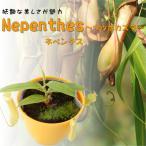 ネペンテス グラシス ウツボカズラ 食虫植物 9cmポット