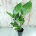 ストレリチア オーガスタ 観葉植物 4号鉢