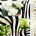 ハイドランジア ゼブラ アジサイ 花芽つき 7.5cmポット