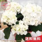 早割 母の日 ギフト アジサイ ブラックスチール ゼブラ 4号鉢 送料無料 贈り物 プレゼント あじさい 紫陽花 花 鉢植え