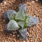 niハオルチア H.badia v.bobii N1(長毛選抜タイプ)多肉植物 ハオルチア 7.5cm