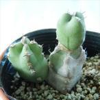 nkユーフォルビア マカレンシス 多肉植物 ユーフォルビア 6cmポット