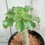 sdアエオニウム スミチー 多肉植物 アエオニウム スミッチー 9cmポット