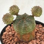 sdユーフォルビア オベサ交配 多肉植物 7.5cmポット