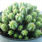 sdユーフォルビア エノプラヒール 多肉植物 ユーフォルビア 3号鉢