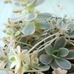 seオロスタキス 斑入り子持ち蓮華 多肉植物 オロスタキス 9cmポット