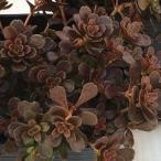 seセダム サルサヴェルデ (多肉植物 セダム 9cmポット)