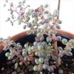 hm ピレア グロボーサ 露鏡 多肉植物 ピレア 6cmポット