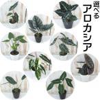 選べる アロカシア 観葉植物 4号鉢