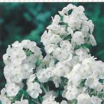 予約販売11月上旬以降発送 宿根草の咲く庭 フロックス フジヤマ 大苗12cmポット オイランソウ画像