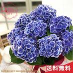 早割 母の日 ギフト アジサイ チボリブルー 5号鉢 送料無料 贈り物 プレゼント あじさい 紫陽花 花 鉢植え