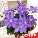 母の日 ギフト クレマチス H.F.ヤング 5号鉢 送料無料 贈り物 プレゼント 花 鉢植え 母の日2021