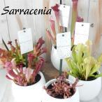 選べるサラセニア 食虫植物 4.5号鉢