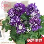 母の日 ギフト クレマチス 新紫玉 6号鉢 送料無料 贈り物 プレゼント 花 鉢植え 母の日2021