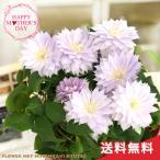 母の日 ギフト クレマチス ベルオブウォーキング 6号鉢 送料無料 贈り物 プレゼント 花 鉢植え 母の日2021
