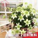 母の日 ギフト クレマチス 白万重 6号鉢 送料無料 贈り物 プレゼント 花 鉢植え 母の日2021